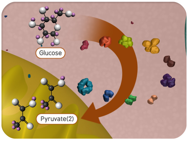 Glycolysis (Reactions) | Virtual Cell Animation Collection
